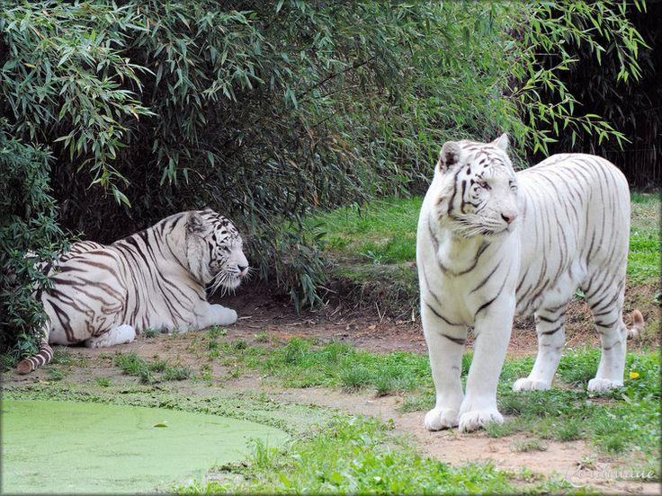 ades et rewa les tigres blancs du zoo de la fl che. Black Bedroom Furniture Sets. Home Design Ideas
