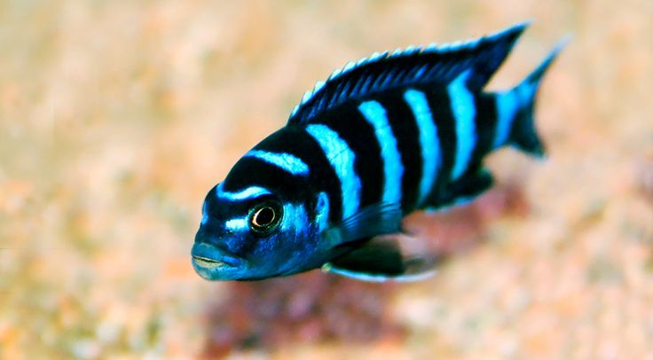 Demasoni African Mbuna Cichlid - Highly aggressive despite its small size.