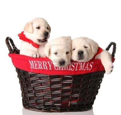 Labrador Retriever Puppies For Sale In Virginia Beach