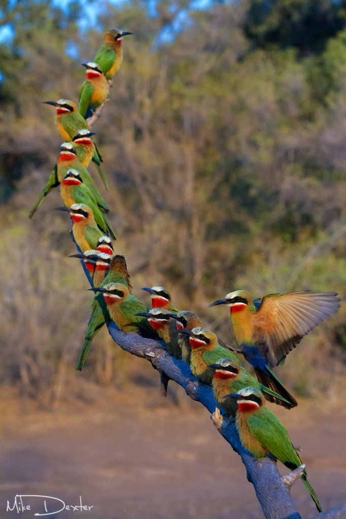 White fronted bee eaters make use of a perch above their colony on Mashatu Game Reserve in Botswana.