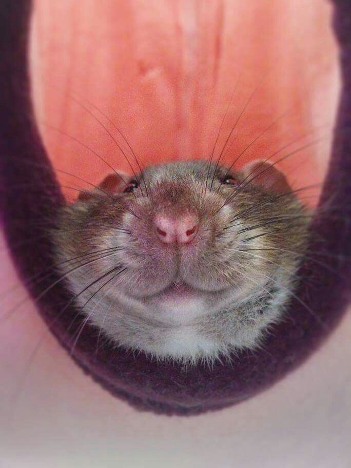 3106 best Ratties images on Pinterest | Rats, Rodents and