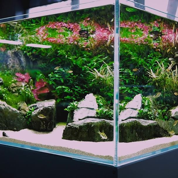 nice cheap new concept new arrivals ADA Cube Garden 60H set. With black lava, Hemianthus ...