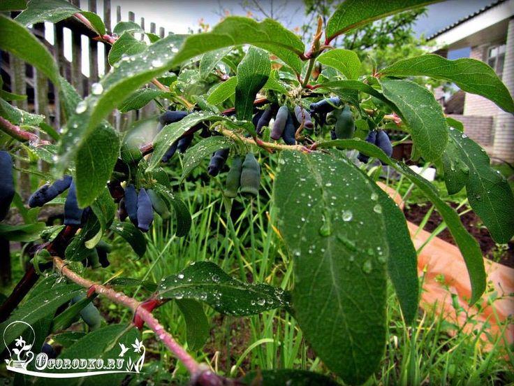 Эта чудесная жимолость… посадка и уход    В середине июня в саду, кроме сочной редиски и лука-батута, ничего нет, но на кустах уже засинела крупная ароматная жимолость. Дети с удовольствием отщипывают по ягодке, губы и язык становятся синими – хохочут. Я довольна, в жимолости много разных витаминных «ценностей», которых так не хватает в нашем рационе.  Обязательно посадите на своём участке эту удивительную ягоду!    Выбираем саженцы    Жимолость – уникальное растение. Кусты её могут вырасти…