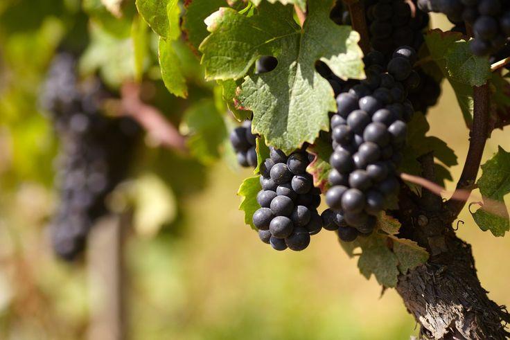 Le Pinot Noir : une valeur sûre pour les fêtes !