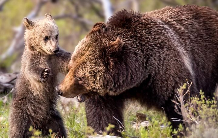 The images were captured by photographer Troy Harrison, 47, from Nashville in Tennesse at the national park synonymous with grizzly bears.