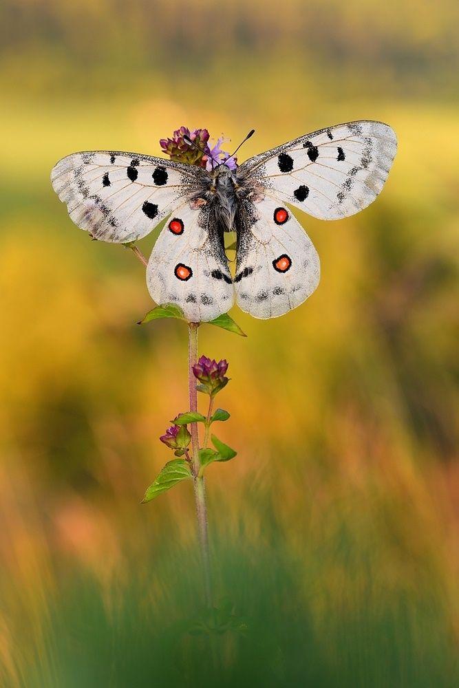 Roter Apollo Schone Schmetterlinge Schmetterlingsbilder Und Kleine Tiere
