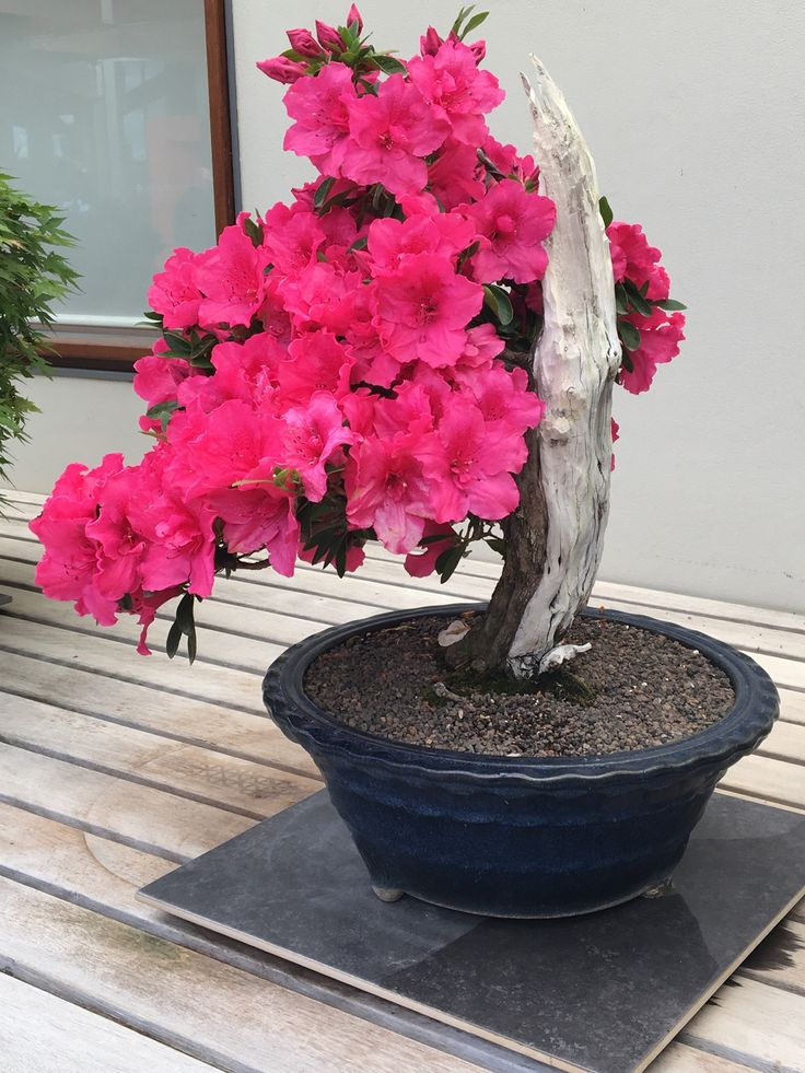Stunning bonsai azalea at National Arboretum