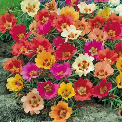 Portulaca grandiflora semplice  mix