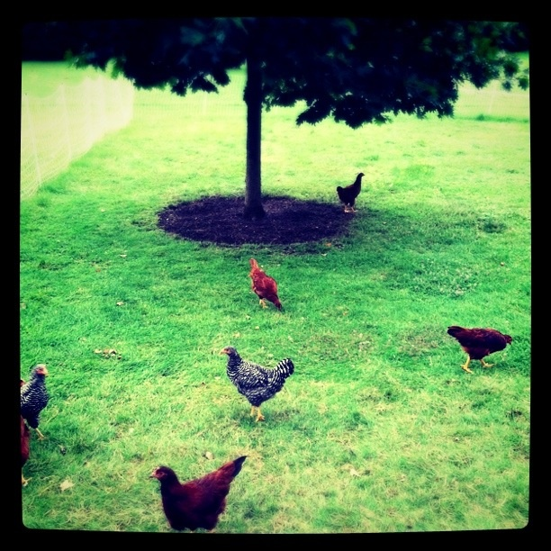 I like Chickens!  I like them even on well-manicured lawns. Hopefully not a Chem-Lawn.