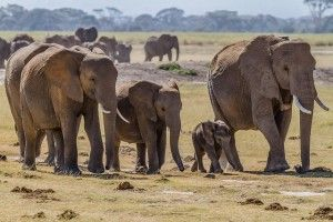 A family of elephant on the prairie.