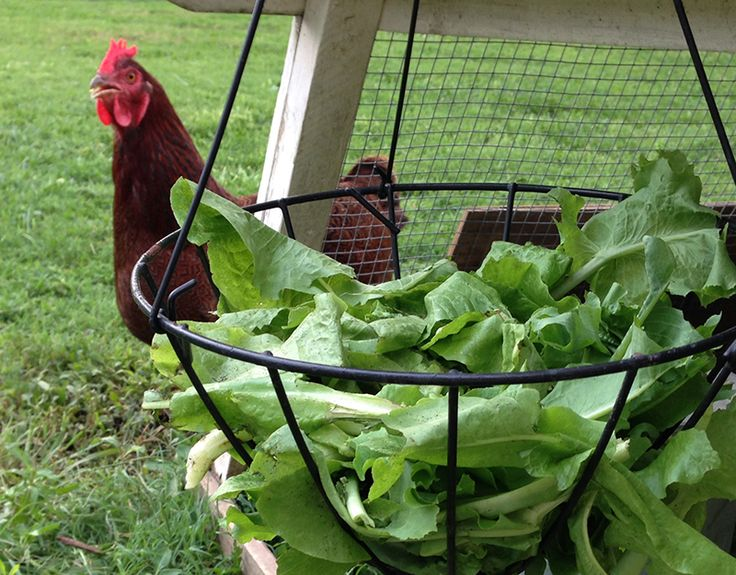 Lure your hens back to the coop each evening with healthy treats.