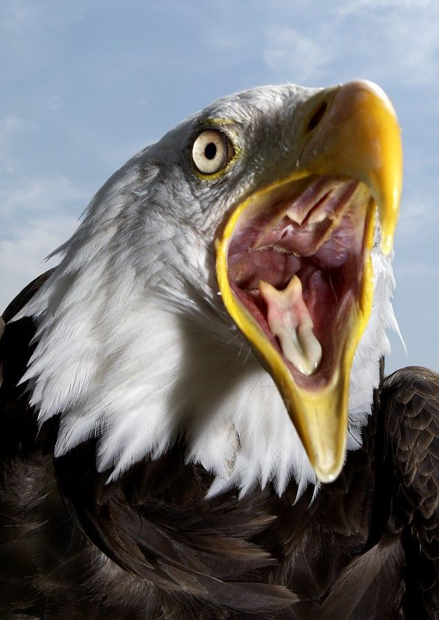 Bald eagle. It's interesting to see the inside of its mouth.