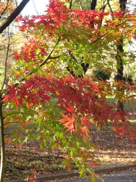 11月1日の誕生日の木は紅葉が美しい「イロハモミジ(伊呂波紅葉)」です。 カエデ科カエデ属の落葉高木。樹高は15m前後。幹の直径は 80cm 以上に達するものもあります。 日本、朝鮮半島、中国に分布し、モミジと言えばイロハモミジを指すほど、紅葉が美しい日本で最もよく見られるモミジの代表種です。 日本では、本州以南の平地から標高 1000m 程度にかけての低山で多く見られ、また庭園や公園にもよく植えられており、イロハモミジから作られた園芸品種も数多くあります。
