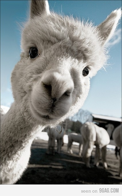 llama llama llama llama!! haha look at that face! animals are awesome!