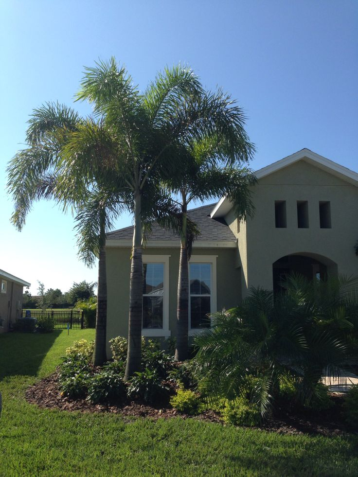 foxtail palms have become very popular in florida  and these are planted at a home in waterset