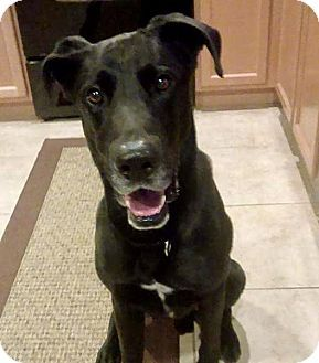 Las Vegas, NV - Great Dane Mix. Meet Rex, a dog for adoption. http://www.adoptapet.com/pet/17917028-las-vegas-nevada-great-dane-mix