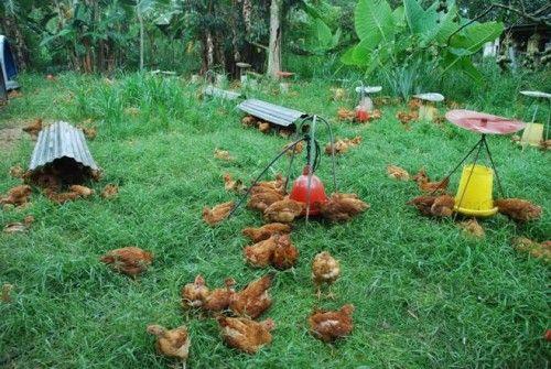 hoop houses,pastured poultry system,free-range chicken,organic chicken,ayam kampung