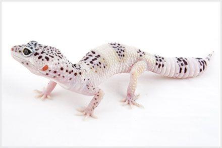 Leopard Gecko Morphs - Hypo Tug Snow