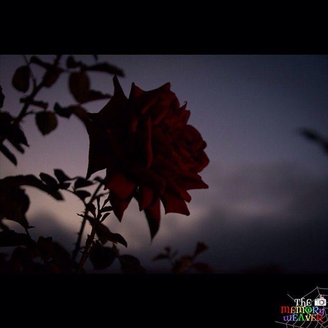 Midnight Rose. #TheMemoryWeaver #Mahabaleshwar #wanderlust