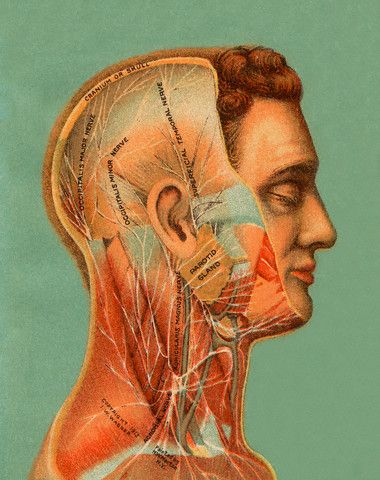 107 best anatomy images on pinterest human anatomy anatomy art chromolithograph of a cutaway of the male human head with the major nerves identified ccuart Gallery