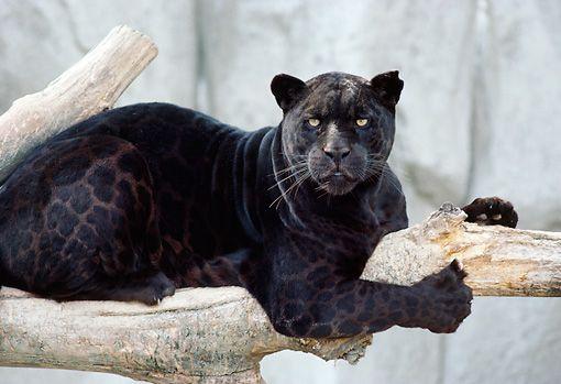 25+ best ideas about Black Jaguar on Pinterest | Wild ... - photo#30