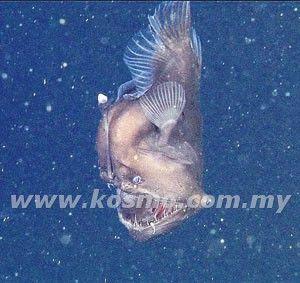 Ikan Aneh Black Seadevil Ditemui Di California  Sejenis ikan yang dikenali sebagai Black Seadevil dikesan buat kali keenam dalam sejarah di sebuah perairan di sini, lapor Daily Mirror semalam. Pusat Penyelidikan Akuarium, Monterey Bay yang merakam...