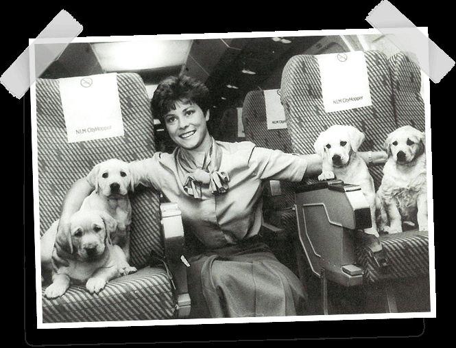 1960 - Een Engelse geleidehondenschool schenkt KNGF Geleidehonden vier Labrador pups ter ere van ons 25-jarig bestaan. Deze Engelse pups zijn hier onderweg naar Nederland in een NLM CityHopper @KLM