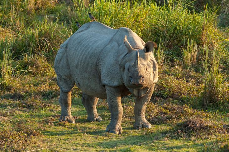 21 rare one-horned Indian rhinos drown in monsoon flooding