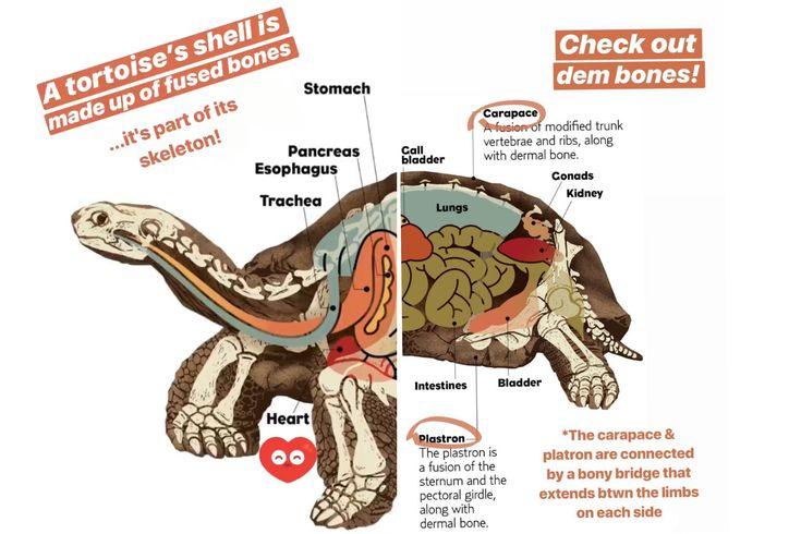 Pin by queerkween on turtoise anatomy bladder trachea