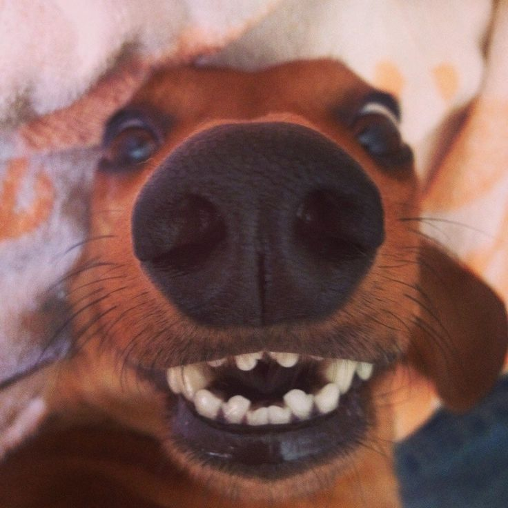 """We rock at taking selfies."" 10 Fun Reasons to Get Dachshunds!!! 