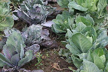 Kål i monokultur giver bar jord
