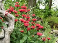 Bee balm is so easy to grow and it  can help attract butterflies, hummingbirds and beneficial bees to your dog friendly garden.