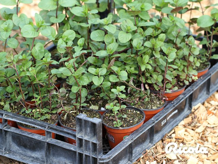 From mid-April, herb farmers begin planting the seeds and seedlings. #Herbs #Planting #Ricola