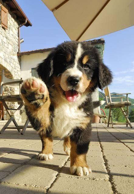 Cachorro de boyero de Berna dando la pata :)