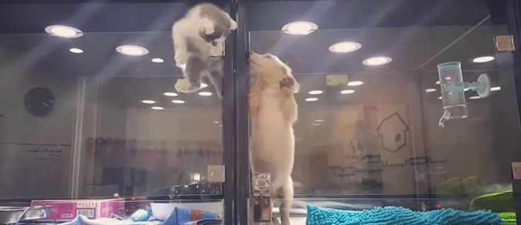 Een kleine #kitten en een kleine #puppy, opgesloten in een glazen hokje, worden tentoongesteld voor de verkoop. Maar de kitten is de eenzame opsluiting zat en besluit te ontsnappen. Ze wil erg graag naar de pup toe, die naast haar in een hokje zit.