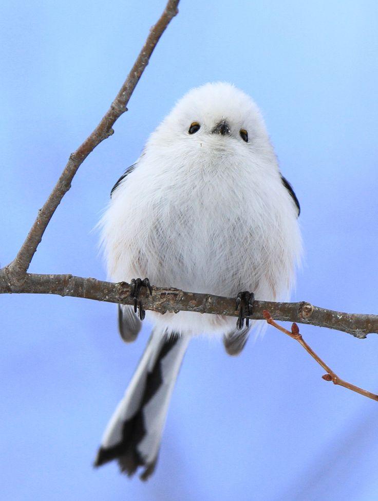 シロハヤブサと北の野生たち・・・ふるさとの自然と文化・情報センター (Long-tailed tit)