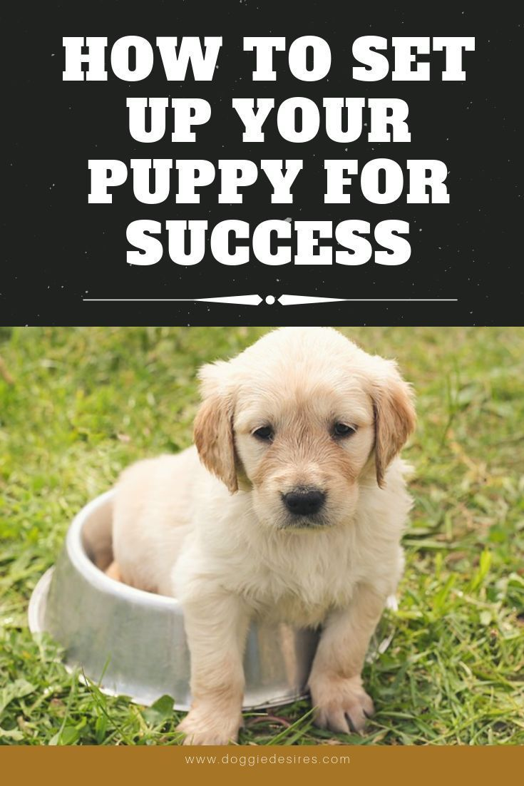 Setting Up Your Pup For Future Success Training Your Puppy