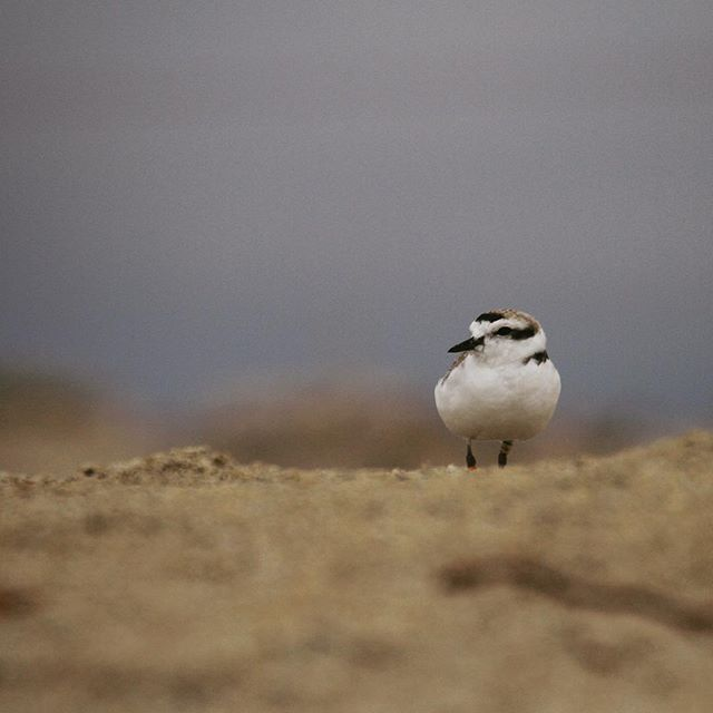 Saw a little snow on the beach last week.  Snowy plover (Charadrius nivosus). #montereybaylocals - posted by Sharon https://www.instagram.com/sha.hsu - See more of Monterey Bay at http://montereybaylocals.com