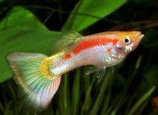 Dunia Cara Ternak Hewan - Peluang Usaha Sampingan: cara ternak ikan guppy menguntungkan