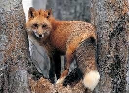 Google Image Result for http://www.hdwallpaperstop.com/wp-content/uploads/2013/05/red-fox-on-tree-wallpaper.jpg