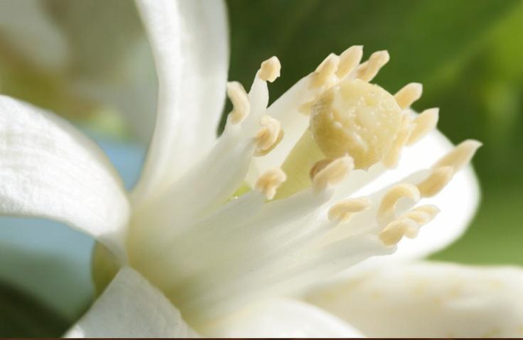 Neroli flower - http://www.shakira-beauty.com/es/elixir#/fragancia