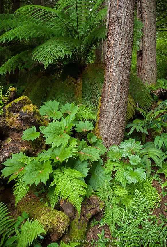 Vashon Island, WA: Understory plants nestled against stumps, alder trees and tree ferns (Dicksonia antarctica) in the Stumpery Garden