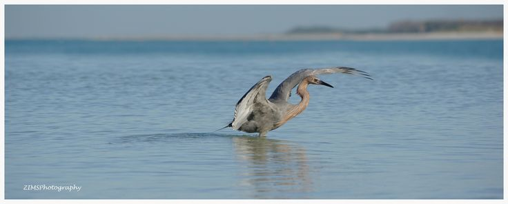 Red enjoys a morning fishing for his breakfast. They rarely come up empty handed! :)) Love watching these gems!  Taken at Fort Desoto County Park, Saint Petersburg, Florida.