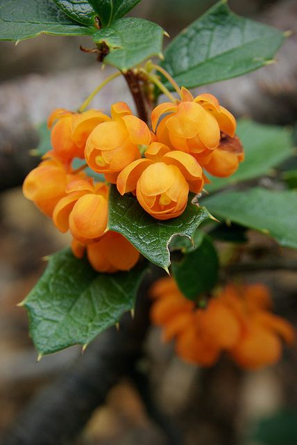 Berberis - beautiful berries. Then there's the spiky factor, again.