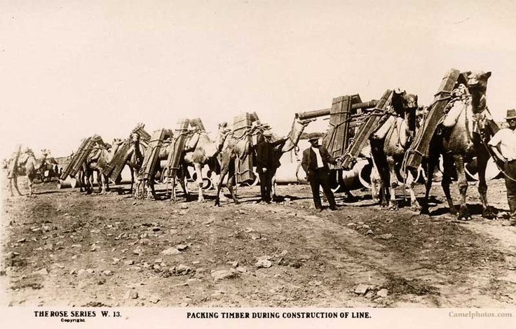 Camels working on The Trans Australian Railway packing timber during construction of line. Would you like to see a 218 KB