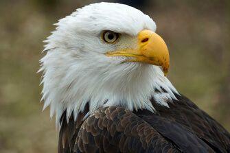 De amerikaanse zeearend is beroemd geworden omdat zijn beeltenis stond op de aloude zilveren dollar. symbool voor Amerika en vaak in combinatie gebruikt met de Amerikaanse vlag.