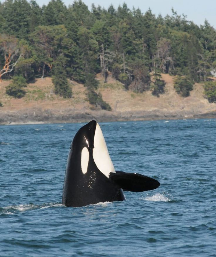 12 best Killer Whale Masters of the Sea images on Pinterest - what is presumed
