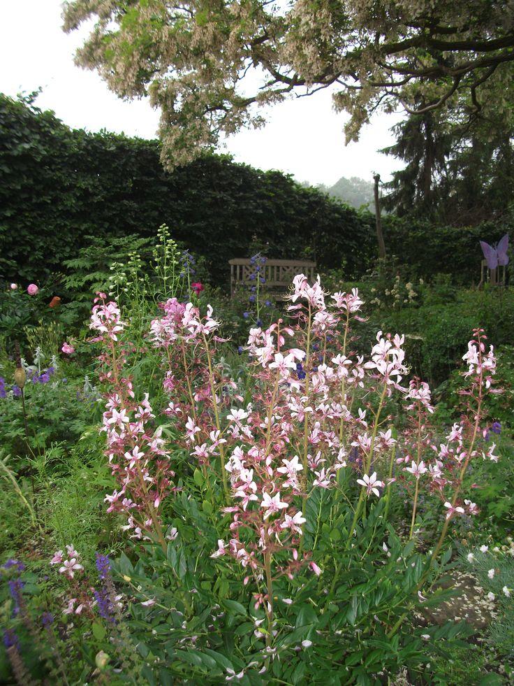 Mein Garten, Juni, Diptam