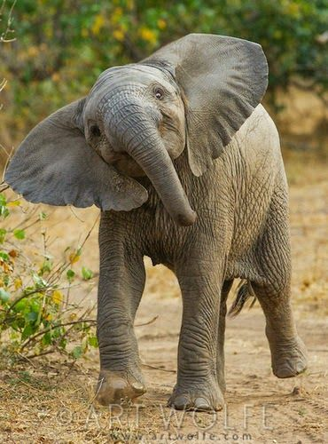Image result for wild elephants in india