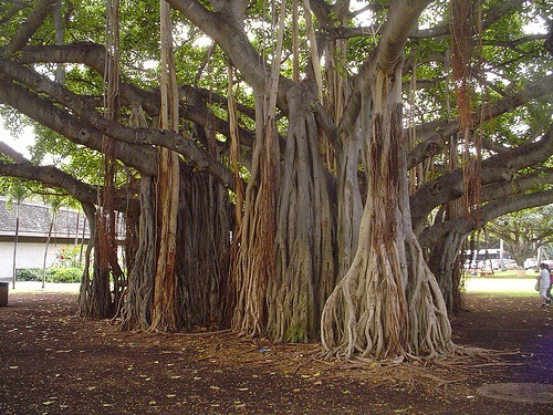 Banyon Trees in Hawaii - banyon trees are cool. This tree looks like the one in front of the Honolulu Zoo.